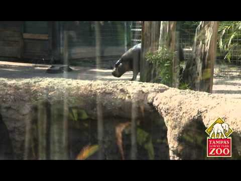 Meet Zuri, the Adorable Baby Pygmy Hippo at Tampa's Lowry Park Zoo