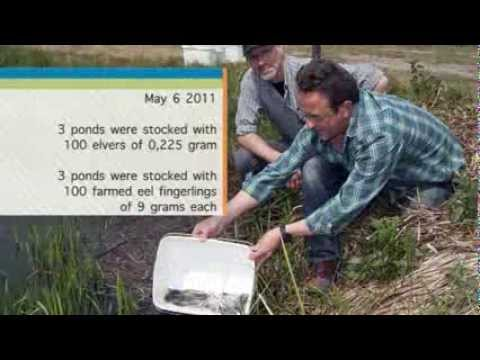 Glass eels and eel fingerlings on natural food - Dupan research project 2011