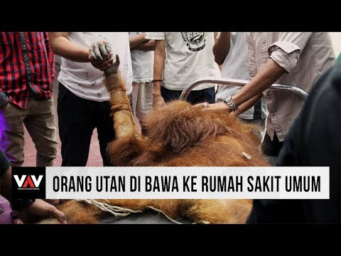 Residents save Orangutans in aceh