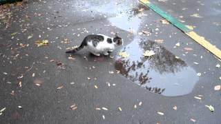 Кот пьет из лужи