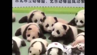 Baby Panda Compilation 2014 The Sneezing Baby Panda Baby Panda playing