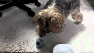 ヨーキー知育玩具 Yorkie & Intelligence Toy ヨークシャテリア Yorkshire Terrier