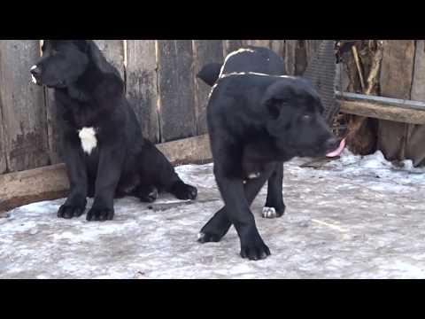 Черные алабаи девочки 5 мес. от Ак-Нуккер Россия