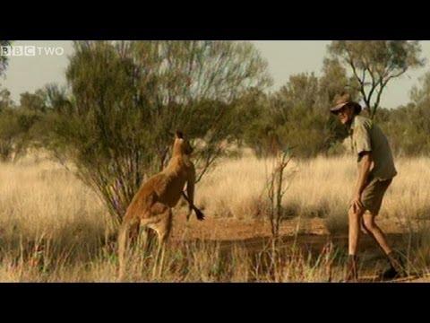 Running from a Kangaroo - Natural World 2012-2013: Kangaroo Dundee preview - BBC Two