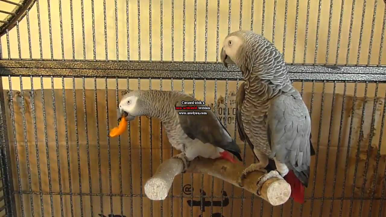 parrot eggs