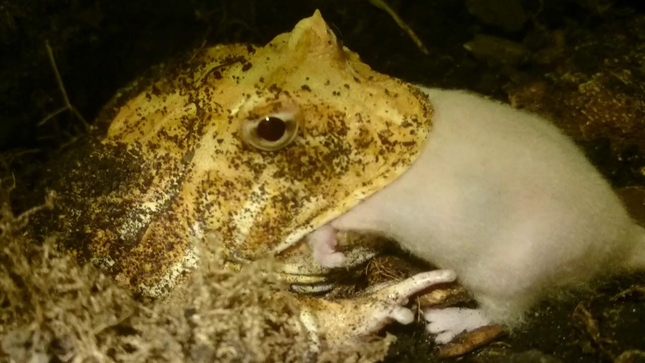 Frog Eating Rabbit Wwwtopsimagescom