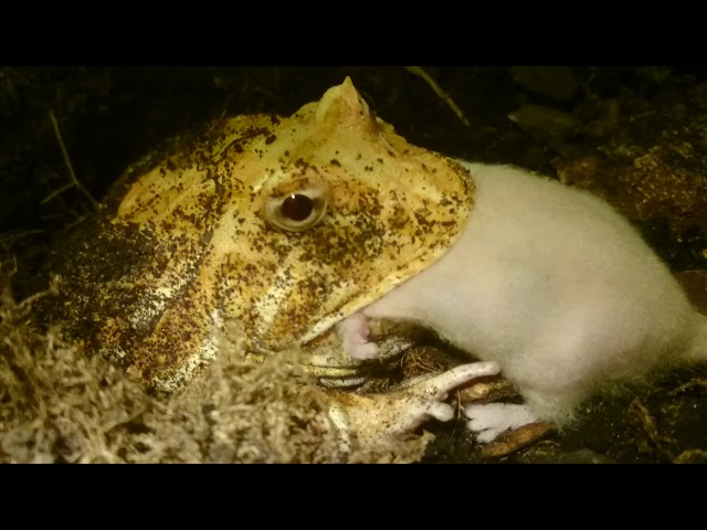 Graphic Pacman Frog Eats Live Mouse Ceratophrys Ornata Youtube