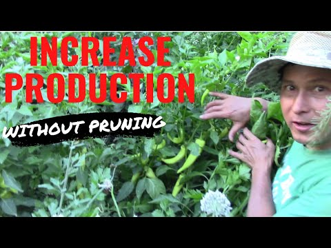 10 Best Ways to Increase Pepper Production Without Pruning
