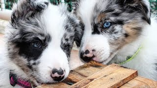 Border collie cutest videos 2020. Adorable and smart dog.