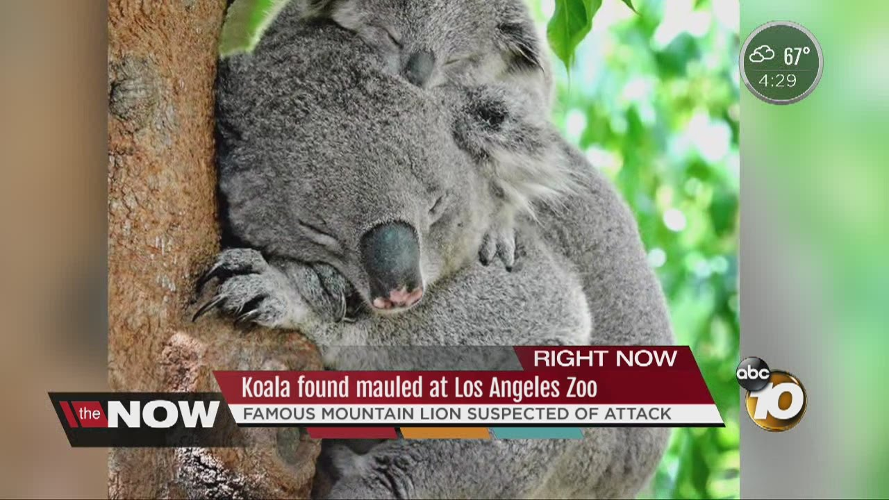 Famous mountain lion suspected in death of koala at LA Zoo