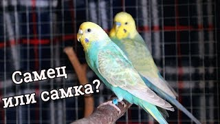 ОПРЕДЕЛЯЕМ ПОЛ У ВОЛНИСТОГО ПОПУГАЯ! | PetMania