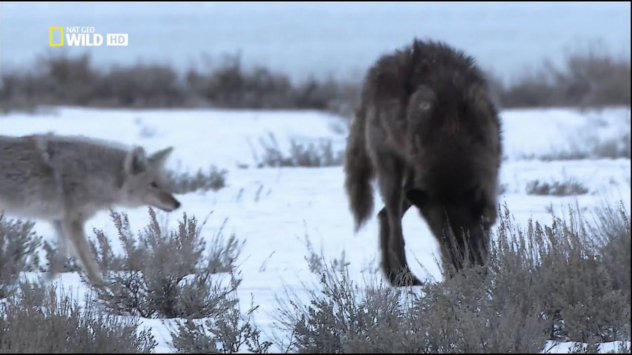 фото полярного волка