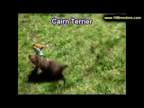 Cairn Terrier, Puppies, For, Sale, In, Kearney, Nebraska, NE, Fremont, Hastings
