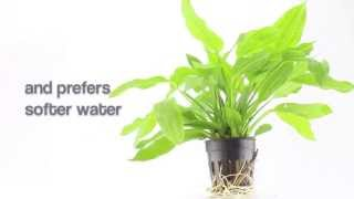 Aquarium Plant Echinodorus Argentinensis - Ideal For Large Planted Aquariums