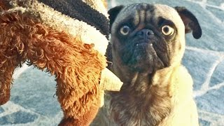 Mean Mug Pug - Epic Tug Of War