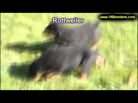 Rottwieler, Puppies , For, Sale, In Staten Island, New York, NY, Brooklyn, County, Borough