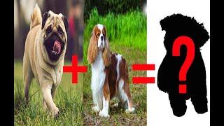 Top 5  Most Popular Pug Crosses Breed #puglife