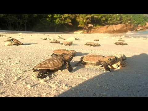 Cousine Island - Hawksbill Turtle hatchlings release