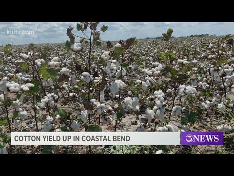 Cotton yield up in the Coastal Bend despite Texas freeze, wet planting season