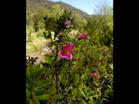 MacDowell Woodland Sketches: To A Wild Rose