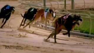 RACE THE WIND 8 - Greyhound Race Track (USA) • Sighthound Dog Galgo beauty & performance