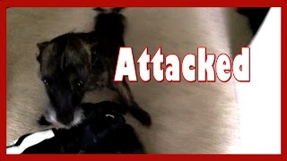 dog attack while christmas tree hunting