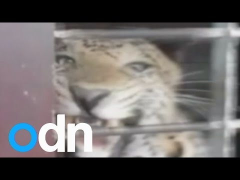 Caught on camera: leopard attack on Indian school injures man