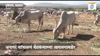Bullock Bajar_Pusegaon Yatra