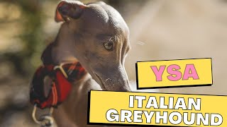 All Dogs Breeds  Italian Greyhound Dog Breed Information And Personality