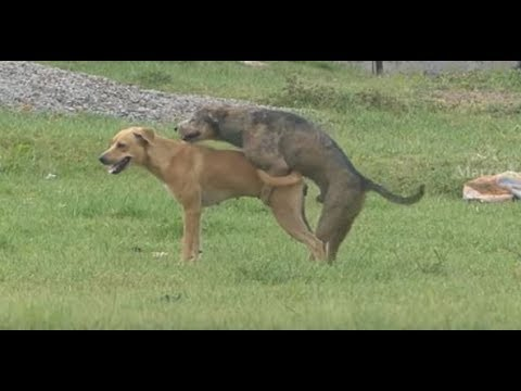 Summer StreetDogs!! Rhodesian Ridgeback Vs Golden Retriever in   MAZAYA VLOGS Village.