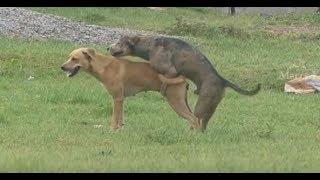Summer StreetDogs!! Rhodesian Ridgeback Vs Golden Retriever in   MAZAYA VLOGS Village.