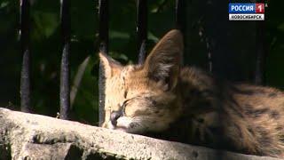 В Новосибирском зоопарке котята сервала впервые вышли к посетителям