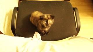 Шотландская вислоухая кошка Тея. 3 месяца.