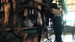 Elevage bovin au Maroc entre coût et rentabilité.mp4