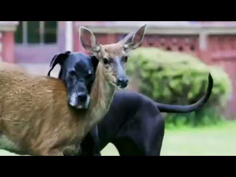 Amitié incroyable entre chien et biche - ZAPPING SAUVAGE