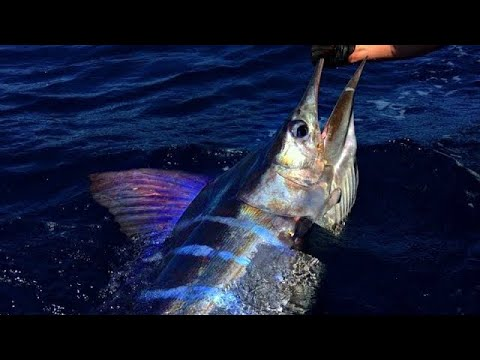 Like A White Marlin But On Steroids!