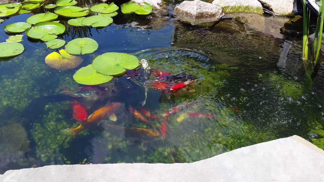 Koi Pond June 2016 Goldfish Clear Water