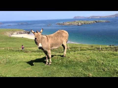 Donkey at Great Blasket Island, Ireland