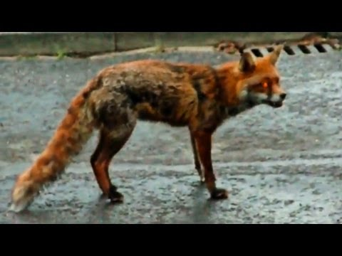 Dog saves cat from fox!