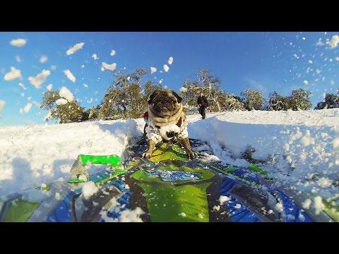 GoPro: Brandy the Snowboarding Pug