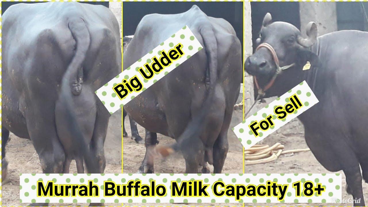 Murrah Buffalo Milk Capacity 18+ Available for sell
