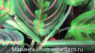 Зелено-розовые листья маранты