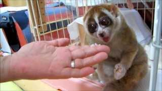 Slow Loris want more Rice Ball thumbnail