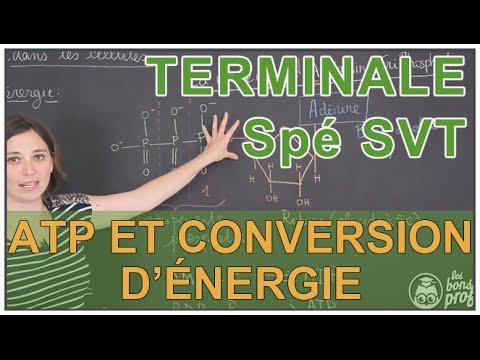 ATP et conversion d'énergie dans les cellules - Spé SVT - Terminale - Les Bons Profs