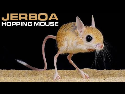 jerboa hopping desert rodent cute but deadly youtube