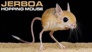 Jerboa - Hopping Desert Rodent, Cute But Deadly!!