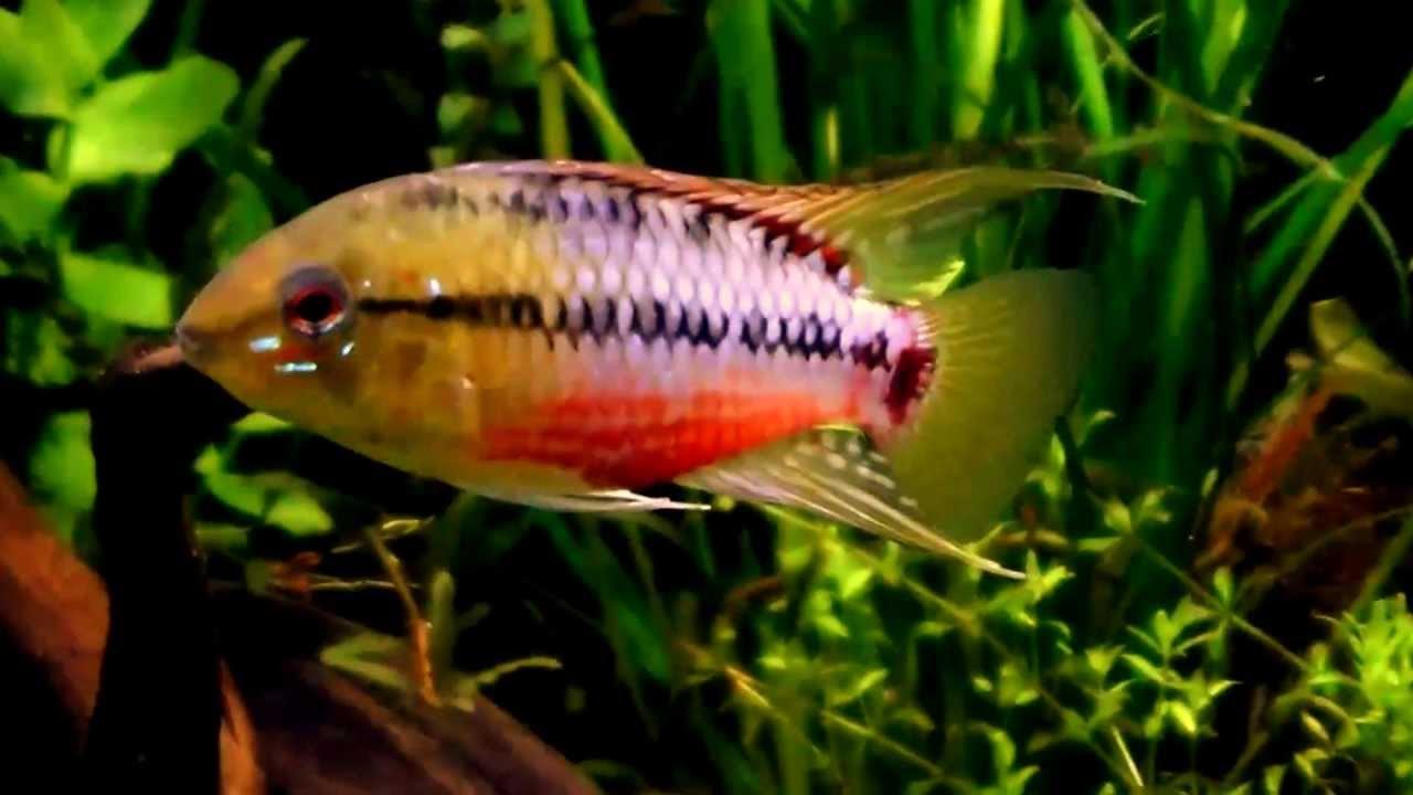 South American Aquarium Planted Tank Dwarf Cichlids Update Youtube