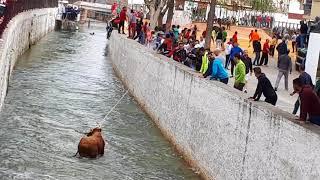 Toro salta al río en San Marcos 2018.