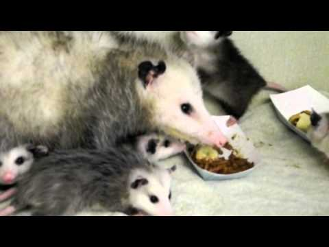 Opossum mother and babies Eating