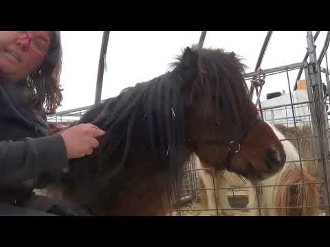 Miniature Horse Grooming - Wind Knots - YouTube